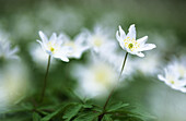 Wood Anemones (Anemone nemorosa). Germany