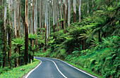 Road in rainforest. Yarra Ranges national park. Australia