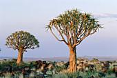 Quiver tree (Aloe dichotoma). Namibia.