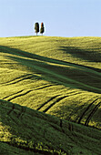 Cypress trees in Tuscan field. Val d Orcia. Siena province. Tuscany. Italy.