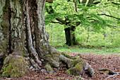 Old beech trees in forest. Kellerwald-Edersee National Park, Hesse (Hessen), Germany, Europe.