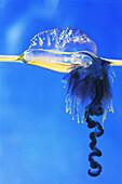 Blue Bottle Jellyfish (Physalia physalis)