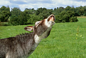 Donkey Flehmen . UK