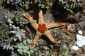 Necklace starfish (Fromia monilis). Lembeh Strait, North Sulawesi, Indonesia.
