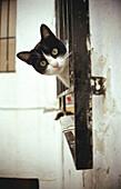 Aussen, Außen, Blick Kamera, Ein Tier, Eins, Farbe, Felis Catus, Fenster, Haustier, Haustiere, Katze, Katzen, Neugier, Tageszeit, Tier, Tiere, Vertikal, K13-213409, agefotostock