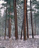 Ponderosa pine trees (Pinus ponderosa) with snow. Metolius Research Natural Area. Deschutes National Forest. Jefferson County. Oregon. USA