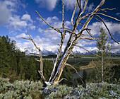 Fresh snow on pine snag from Snake River overlook, Teton Mountain Range. Grand Teton National Park. Teton County, Wyoming. USA.