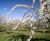 Cherry orchard. Washington County. Oregon. USA.
