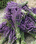 Harvested lavender (Lavandula) cut and bundled. Sequim. Clallam County. Washington. USA.