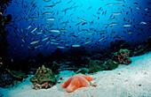Schooling Neon Fusiliers and Cushion Starfish, Pterocaesio tile, Choriaster granulatus, Maldives, Indian Ocean, Meemu Atoll