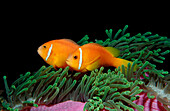 Maldive Anemonefish, endemic, Amphiprion nigripes, Maldives, Indian Ocean, Meemu Atoll