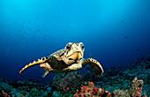 Hawksbill Turtle, Eretmochelys imbricata, Maldives, Indian Ocean, Felidu Atoll