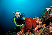Indo-Pacific Day-Octopus and Diver, Octopus cyanea, Maldives, Indian Ocean, Meemu Atoll