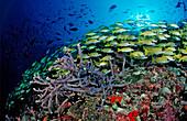 schooling Bluestripe Snappers, Lutjanus kasmira, Maldives, Indian Ocean, Meemu Atoll