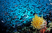 Shoal of Redtooth Triggerfishes adn yellow Crinoid, Odonus niger, Maldives, Indian Ocean, Meemu Atoll