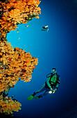 Orange Soft Corals and Diver, Alcyonaria, Maldives, Indian Ocean, Meemu Atoll