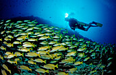 schooling Bluestripe Snappers and Diver, Lutjanus kasmira, Maldives, Indian Ocean, Meemu Atoll