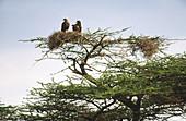 Tawny Eagle (Aquila rapax). Two eagles in nest in acacia. Samburu National Reserve. Kenya