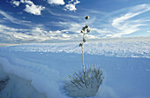 Dead Soaptree Yucca (Yucca elata). White Sands National Monument. New Mexico. USA