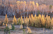 Dawn light on frosted autumn tamaracks at edge of wetland with hillside of bare birch. Walden. Ontario. Canada