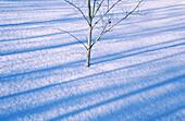 Trembling aspen (Populus tremuloides). Sudbury. Ontario. Canada