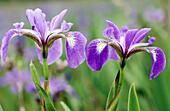 Blue Flag (Iris versicolor): wetland plant blooming in marsh-Newfoundland. Gros Morne National Park. Newfoundland and Labrador, Canada