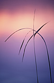 Cattail (Typha latifolia): cattail leaf silhouettes at edge of Kelly Lake with dawn light reflection. Sudbury. Ontario. Canada