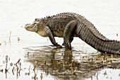 American alligator (Alligator mississippiensis) loafing at edge of lake. Myakka River SP, FL, USA