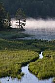 Pine tree and morning mist near boreal lake and wetland. Whitefish Falls. Ontario. Canada.