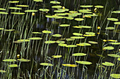 Yellow water lilies and grasses in wetland. Worthington, ON, Canada