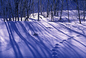 Birch grove shadows with animal tracks, winter scene in Northern Ontario. Lively, ON, Canada