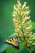 Tiger swallowtail, (Papilio glauca) foraging on yellow buckeye flowers. Great Smoky Mountains NP. Tennessee. USA.