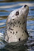 Harbour seal (Phoca vitulina), portrait of curious individual. Victoria, BC, Canada