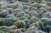 Emerging growth from grass hummocks in wetland. Burwash, Ontario, Canada