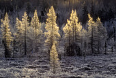 Frosted tamarack trees in early winter wetland. Lively. Ontario, Canada