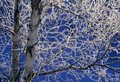 Morning frost coating birch trees near open water of Junction Creek in winter. Sudbury, Ontario. Canada.