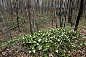 Trilliums in beech-maple woodlot in spring. M Chigeeng First Nation, Manitoulin Is., Ontario, Canada