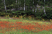 Birch trees at edge of meadow with mix of wildflowers- vetch, orange and yellow hawkweeds. Lively, Ontario, Canada