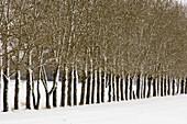 Snow plastered shelter belt line of trees. Drumheller, East Coulee, Alberta, Canada