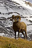 Bighorn sheep (Ovis canadensis). Full-curl ram. Banff National Park. Alberta