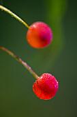 Pin cherry (Prunus pensylvanica). Ripe berries with dew drops. Ontario