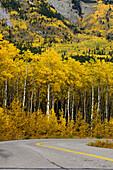 Fall aspens along sideroad near Barrier Lake in Kananaskis Country. Southern Alberta