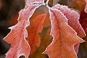 Northern red oak (Quercus rubra) Frosted autumn leaves