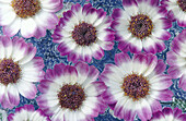 Purple and white daisies floating on water. Southern Oregon coast. USA.