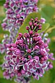 Blossoming Common Lilac (Austria Syringa vulgaris)