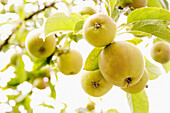 Agricultural, Agriculture, Aliment, Aliments, Apple, Apples, Color, Colour, Crop, Crops, Cultivated, Europe, European, Exotic, Farming, Field, Fields, Food, Foodstuff, Fruit tree, Fruit trees, Fruits, Golden Delicious, Green, Hanging, Horizontal, Orchard