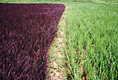 Purple rice and normal rice. Purple rice variety where the leaves are purple instead of green along with normal rice. India
