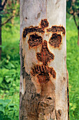 Carved face on a tree trunk