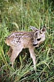 Roe Deer (Capreolus capreolus) young. Cantabria, Spain