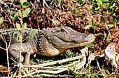 Alligator from Everglades National Park. Florida. USA